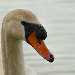 Swanonthelake