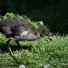 PeckingOrder