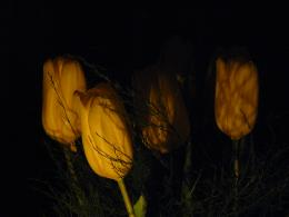 Tulips lit by candles