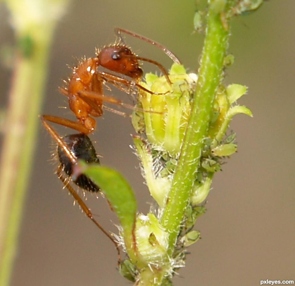 drinkin ant