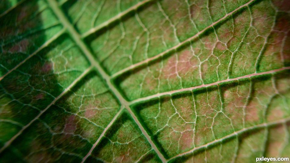 Poinsetta Leaf