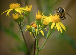 Brownish insect on yellow flowers