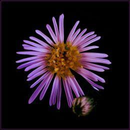 Fieldflower