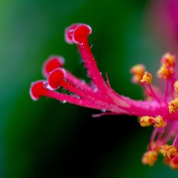 Hibiscusstamen