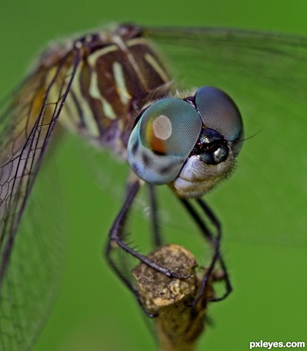 Blue Dasher photoshop picture