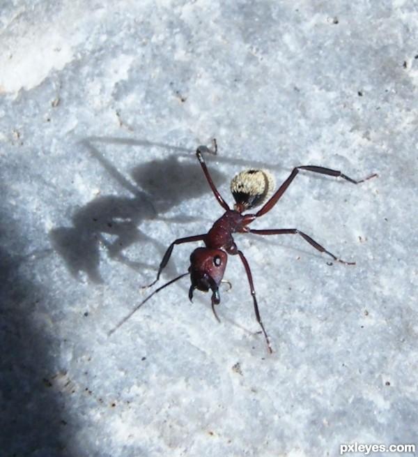 Hairy-arsed ant