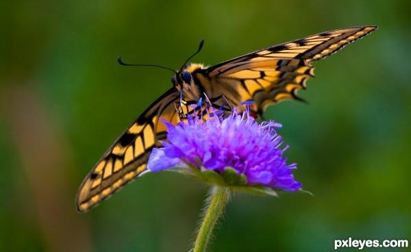 Mountain Butterfly