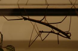 Stickinsects