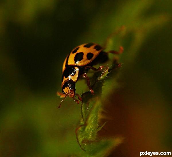 Yellow Lady Bug