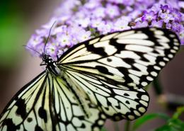 NaturesMonoButterfly