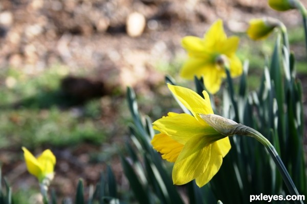 Quintessential Spring Flower