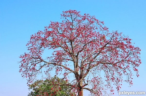 Red silk cotton tree/Semal/Sem