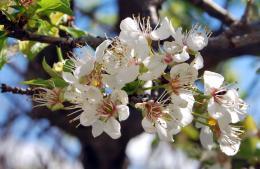 floweringalmondtree