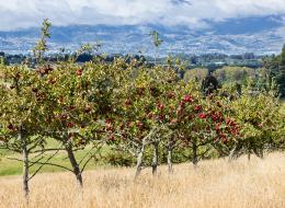 ripeningapples