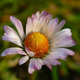 Colorfuldaisy