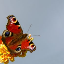 Peacockbutterfly
