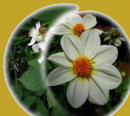 BlackberryampDahliaflowerball