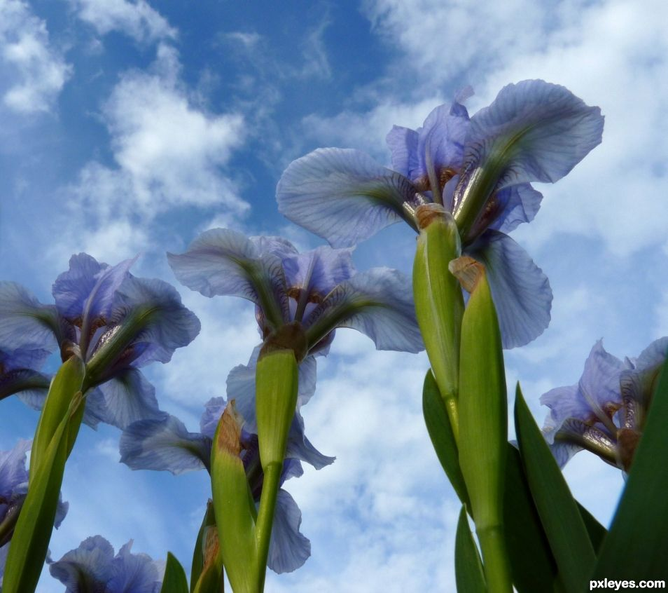 Giant flowers or Dwarf iris ?
