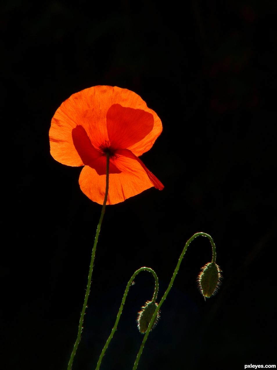 Backlight and poppies