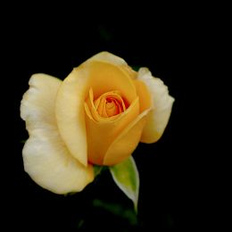 The Yellow Rose of Texas Picture