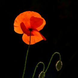 Backlight and poppies Picture