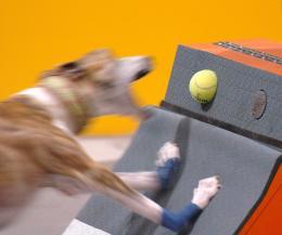 Flyballdog