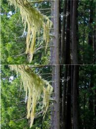 Laceintheforest