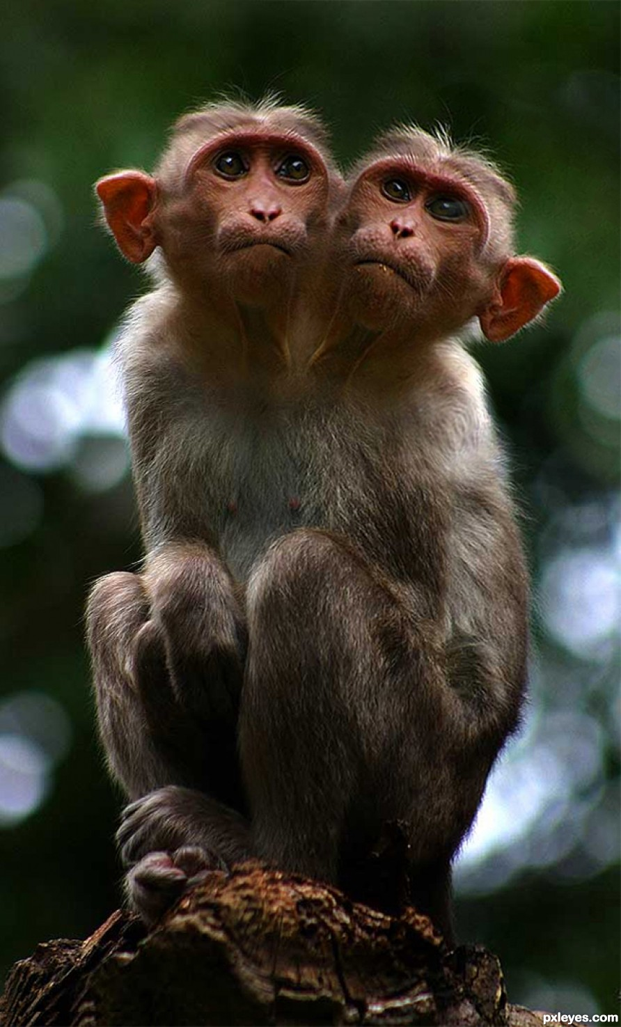 2 Headed Monkey