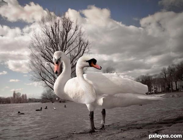2 Headed Swan