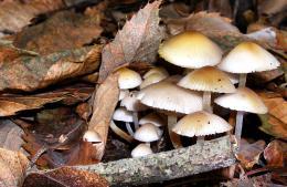 Mushroomumbrella