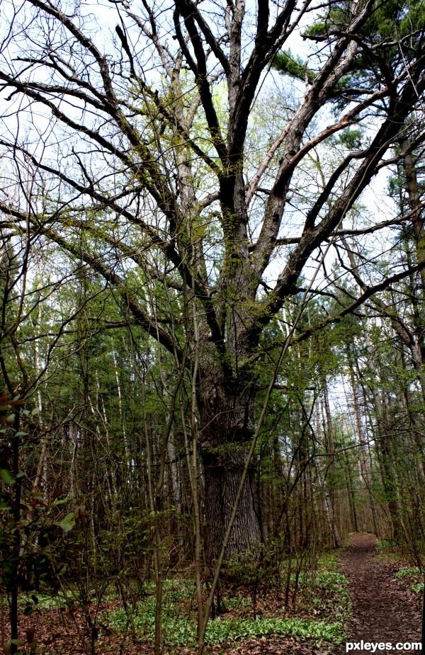 Woods Giant Tree