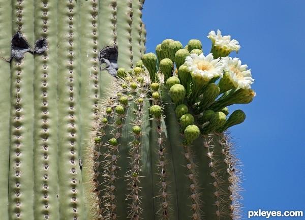 Saguaro Blossom