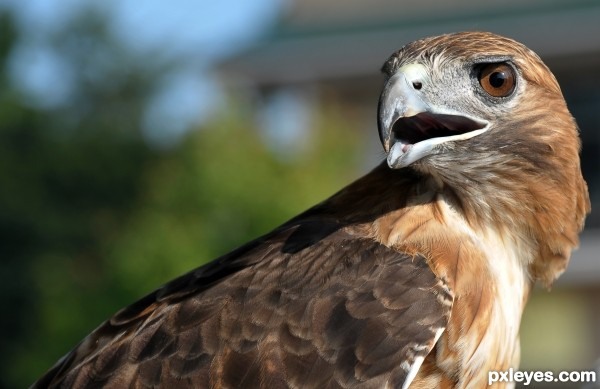 red tail hawk photoshop picture)