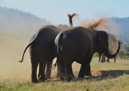 Elephants play