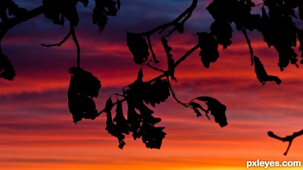 Oak Silhouettes