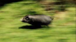 Run Piggy Run