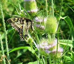 beautifulbutterfly