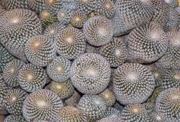 cactuscluster