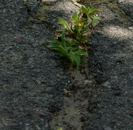 Grassthroughthepavement