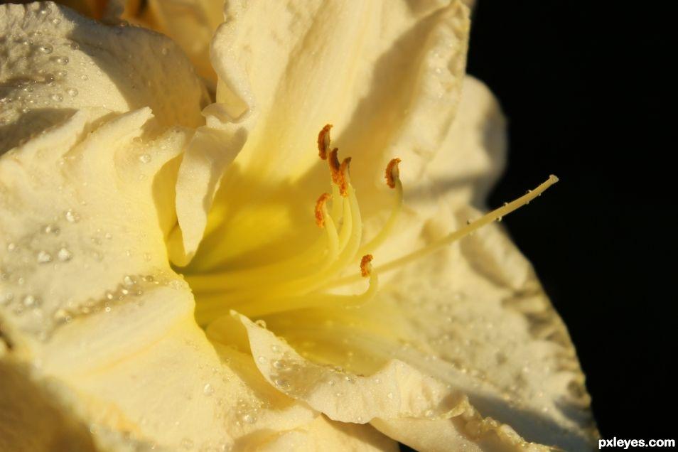 Nature Close Up - Daylily