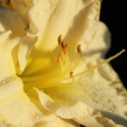 Nature Close Up - Daylily Picture