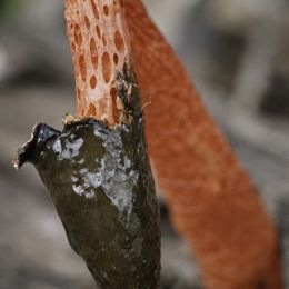 Demise of a stinkhorn Picture