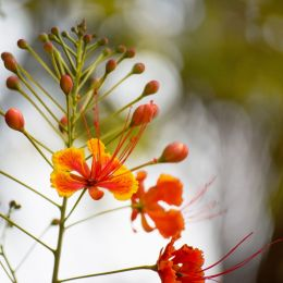Poincianaflowers