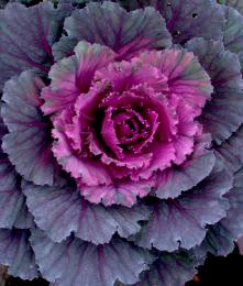 Ornamentalcabbage