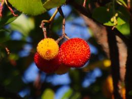 wildfruit