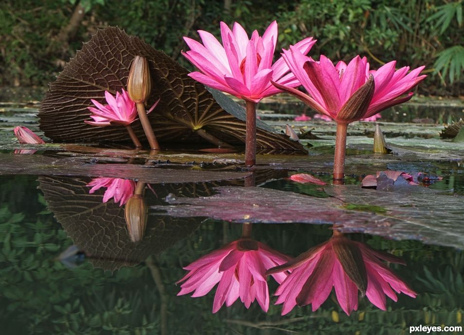 Dance of the Water Lily