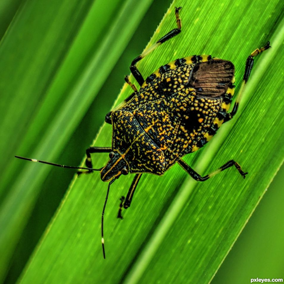Stink Bug Beauty