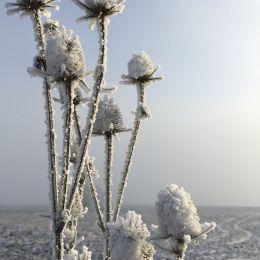 wintersflower