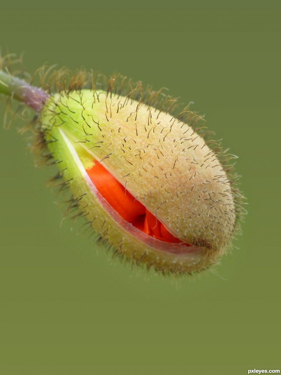 A Future Poppy