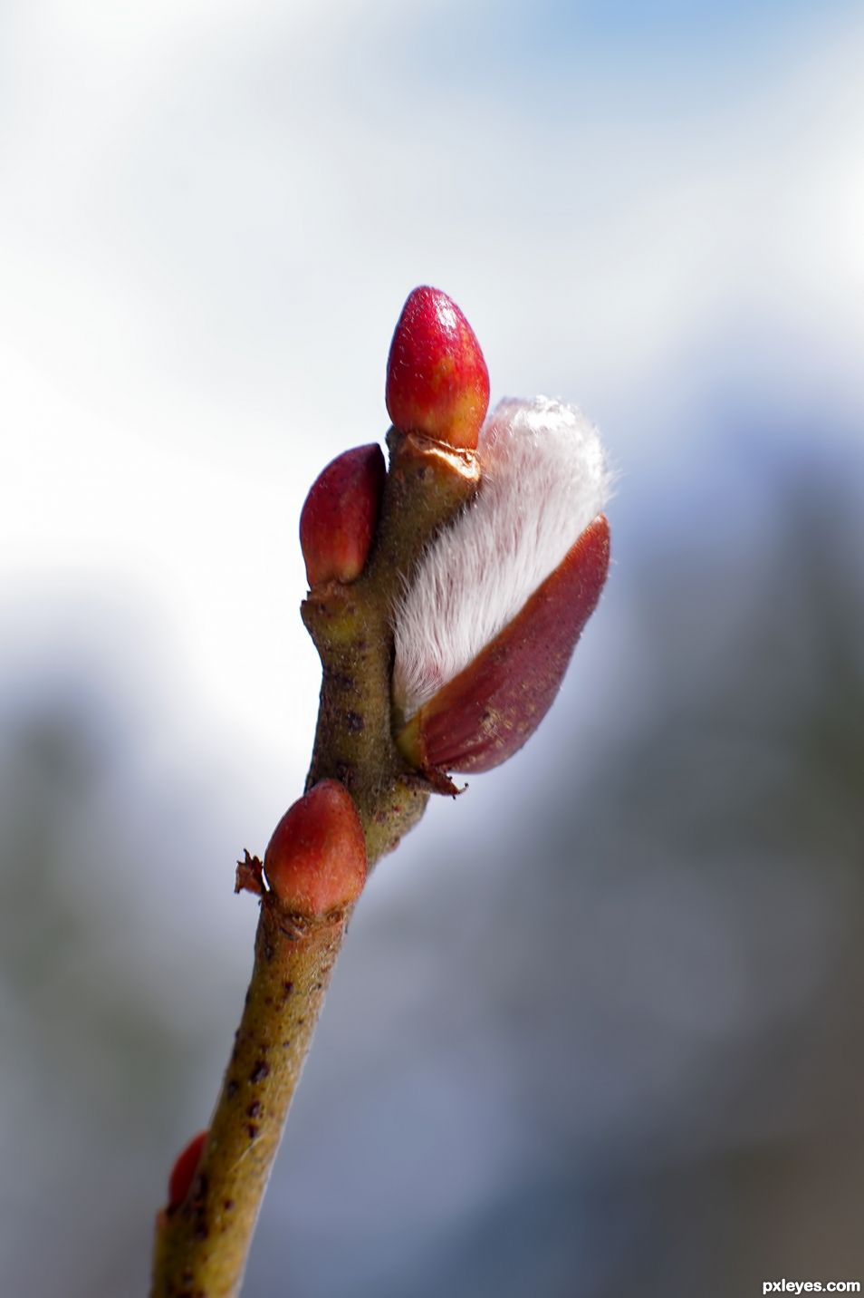 Pussy Willow Bud